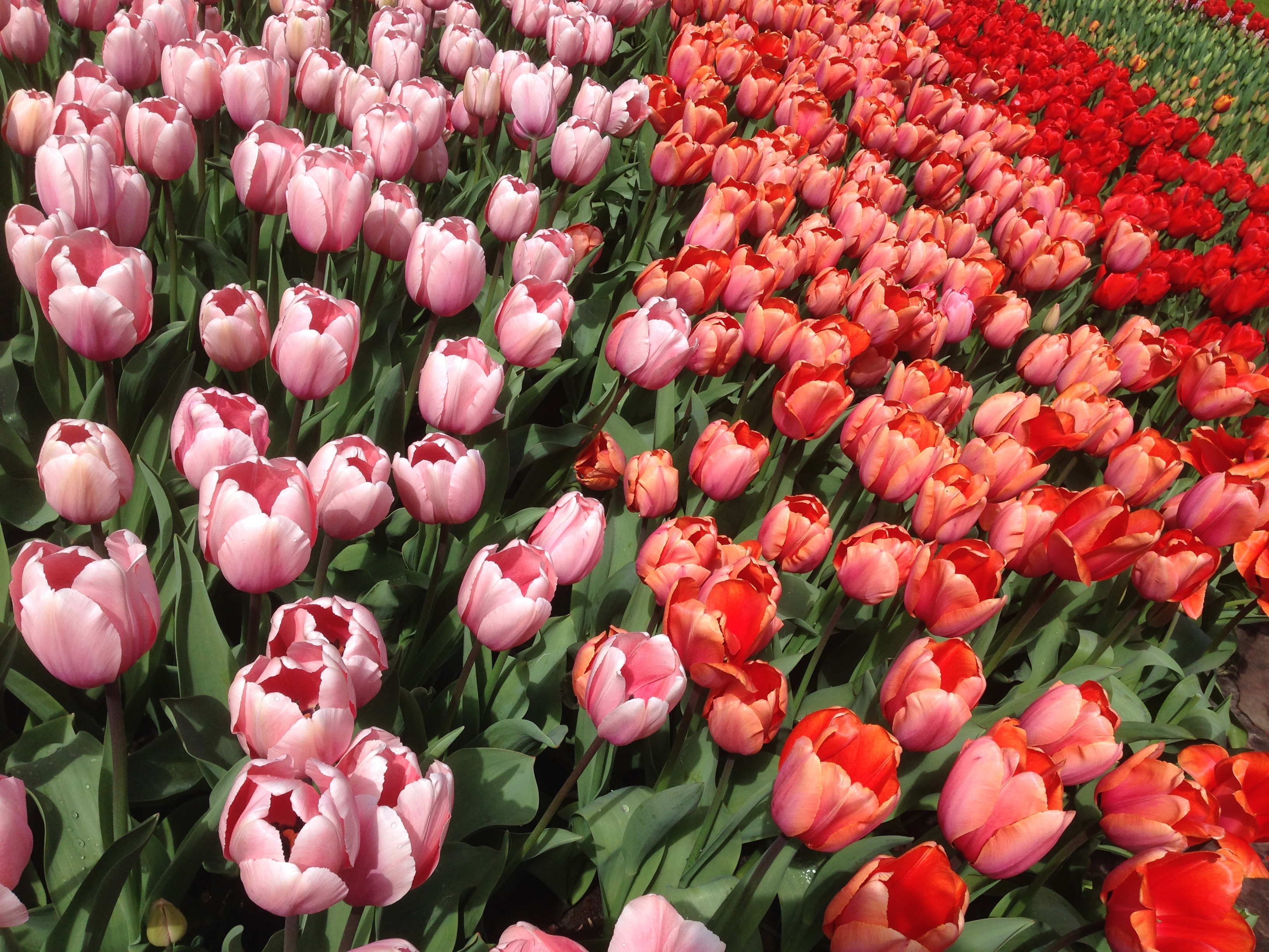 tulip gardens in holland